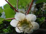5月16キューイの花