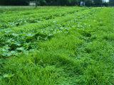 6月20かぼちゃ緑のじゅうたん